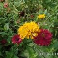 院上葵花别样红