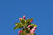 平阴县海棠园的花开了