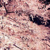 镜头与光影结合 拍出妩媚樱花的基本技巧
