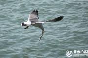 海鸥扑食篇