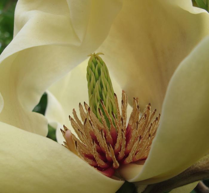 黄玉兰花蕊