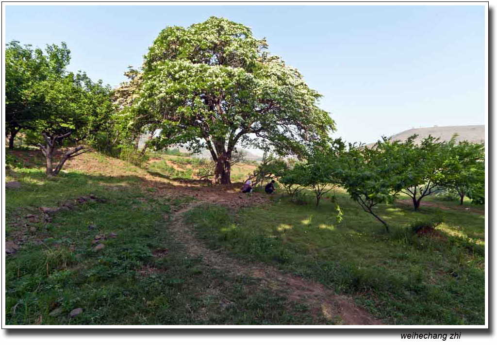 辉渠镇的千年流苏树