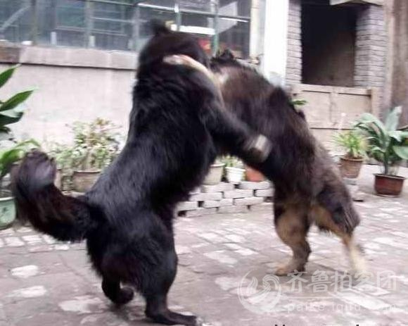 藏獒打架,两头凶猛的藏獒打架 高加索犬高清图片