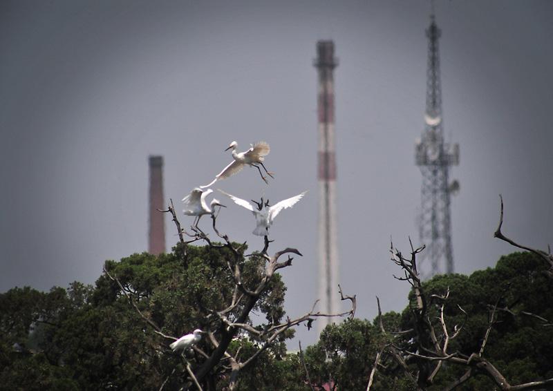 白鹭生存的环境后方电讯塔