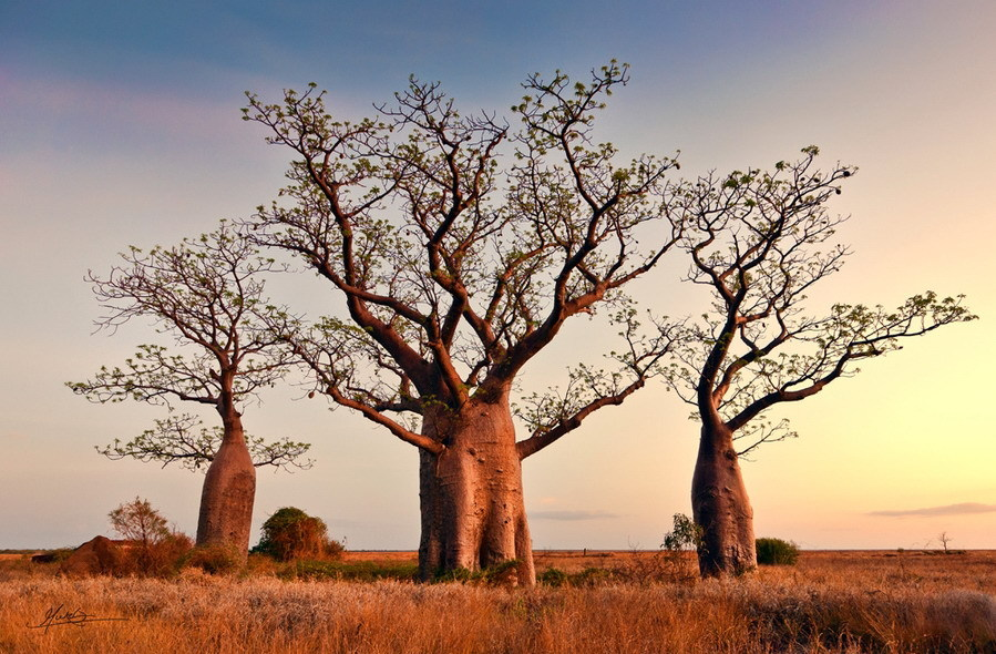 神奇的非洲猴面包树