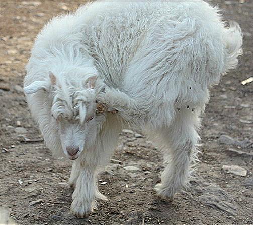 可爱的小山羊 - 济宁论坛