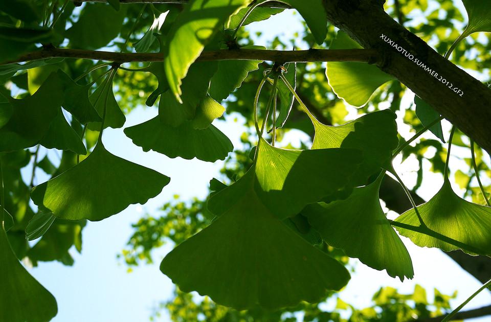夏天的银杏树