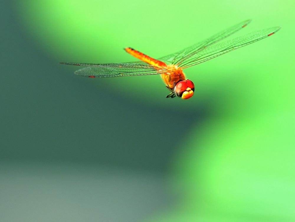 答:1、 蜻蜓属于肉食类昆虫,专门把蚊子、苍蝇和其他小昆虫作为食物。一种俗称为青头楞的绿色大蜻蜓,一天能亳不在乎地吃掉二千只左右的蚜虫等这类小飞虫。它吃蚊子,苍蝇之类当然不在话下,此外,凡是会飞会爬的小飞蛾、小昆虫,它都欢迎。这样...