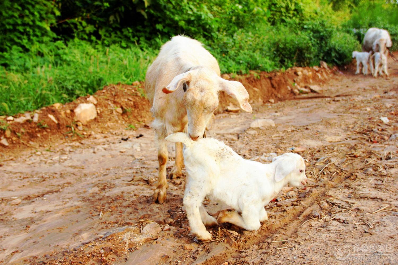 微信头像可爱动物小羊