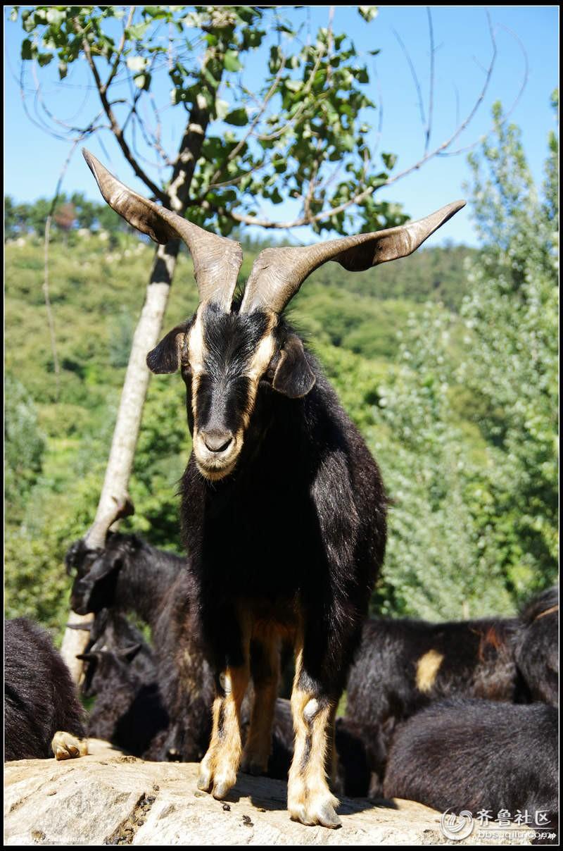 动物大黑羊图片