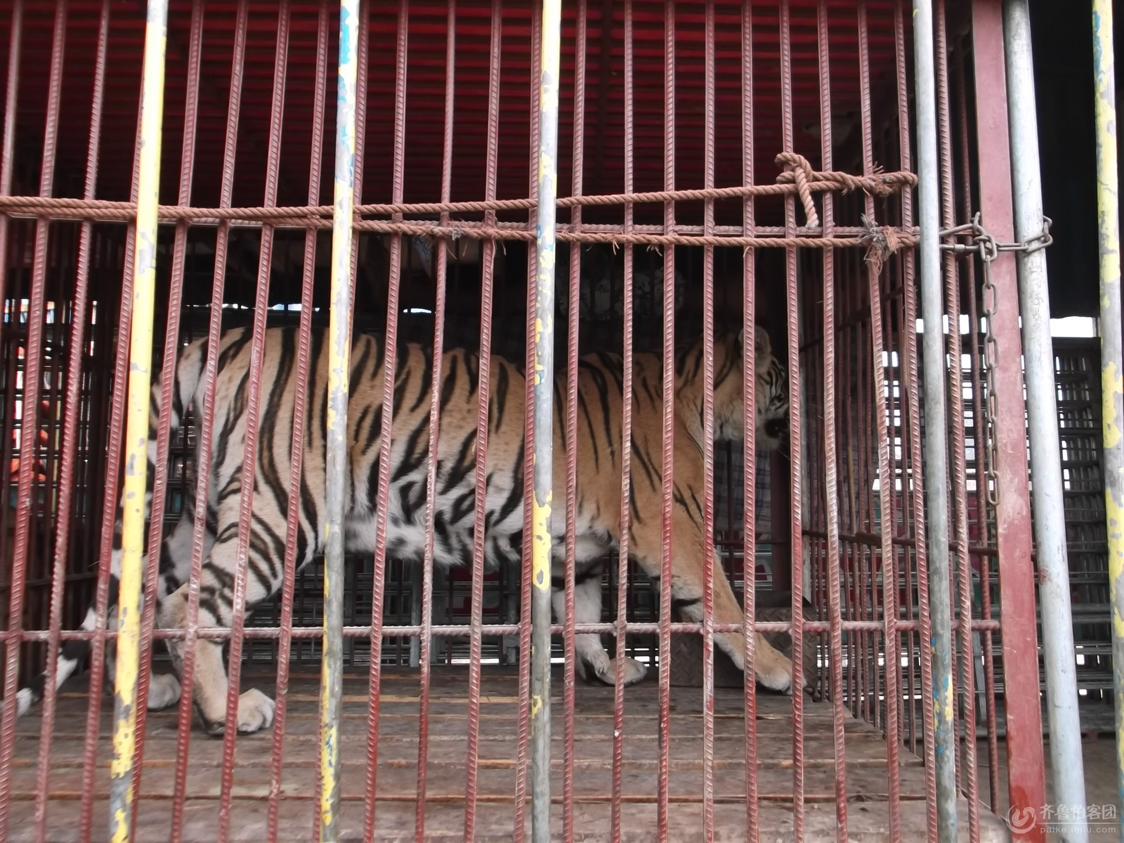 关在笼子里的老虎
