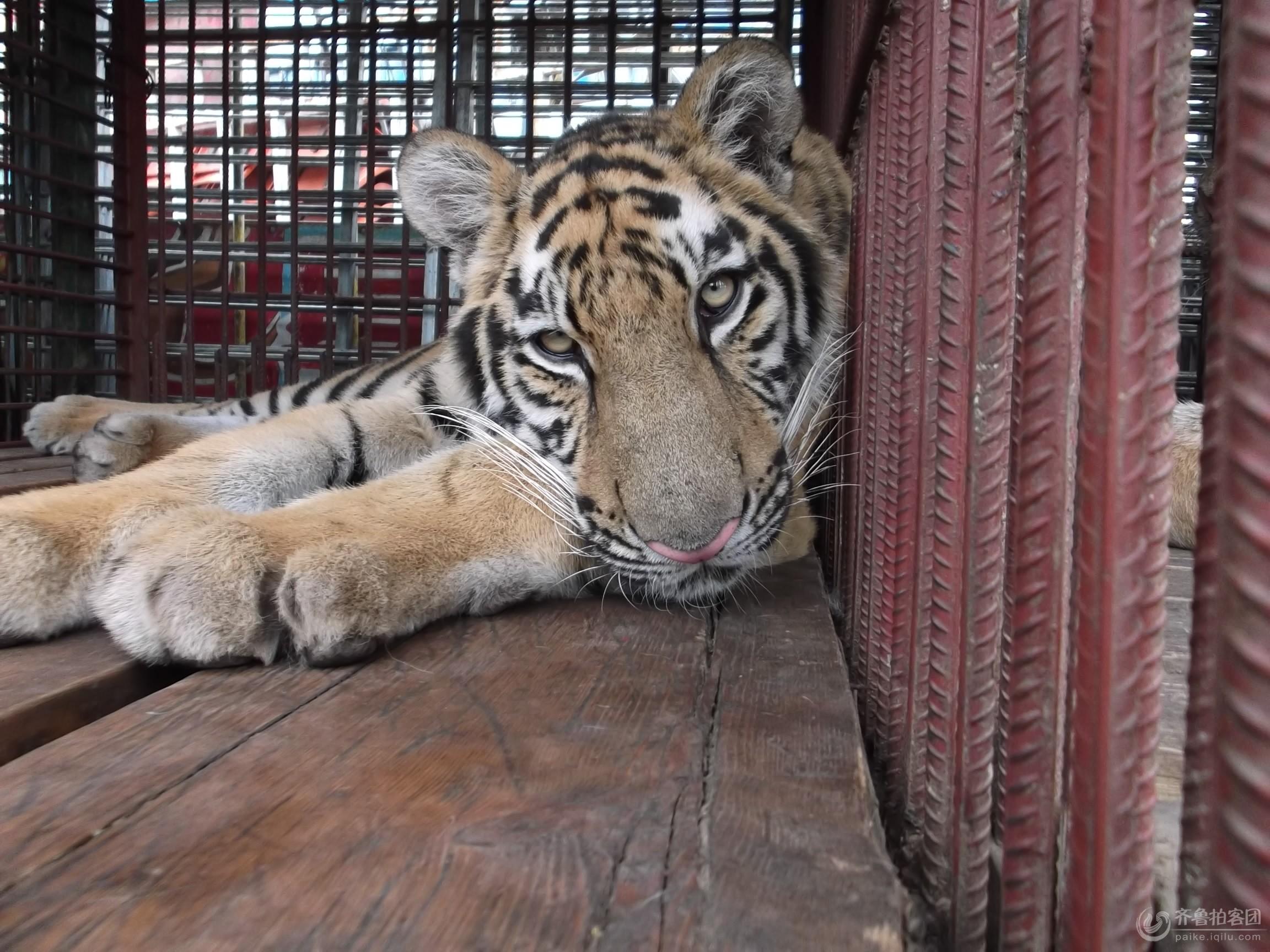 关在笼子里的老虎 - 潍坊拍客