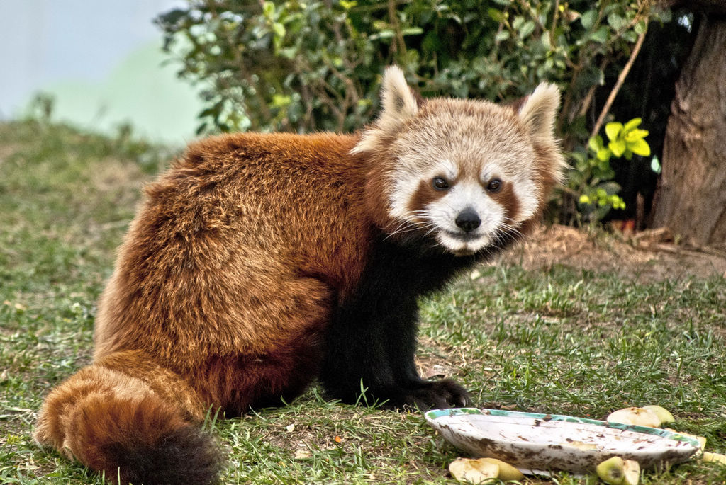 小熊猫——拍自金宝动物园