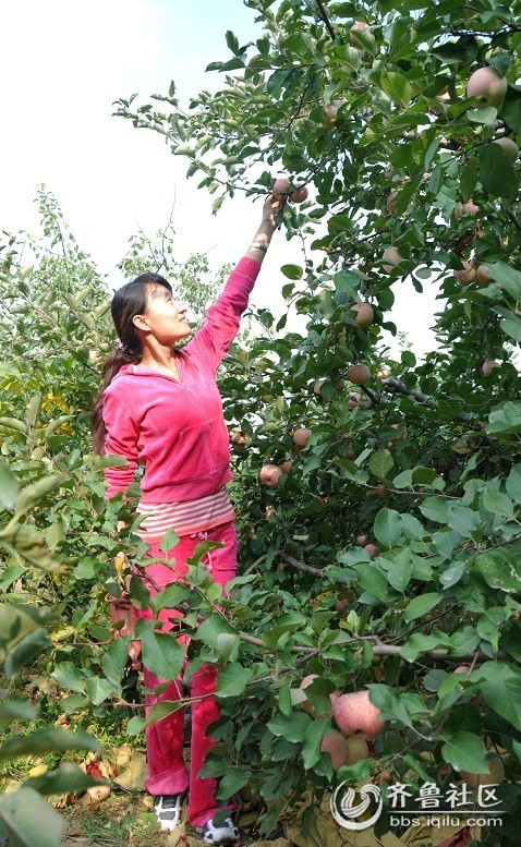 苹果树之恋 - 莱芜论坛