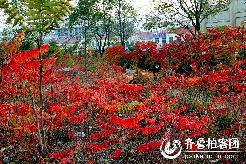 山亭双山公园的红叶子