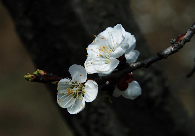 照片 047杏花.jpg