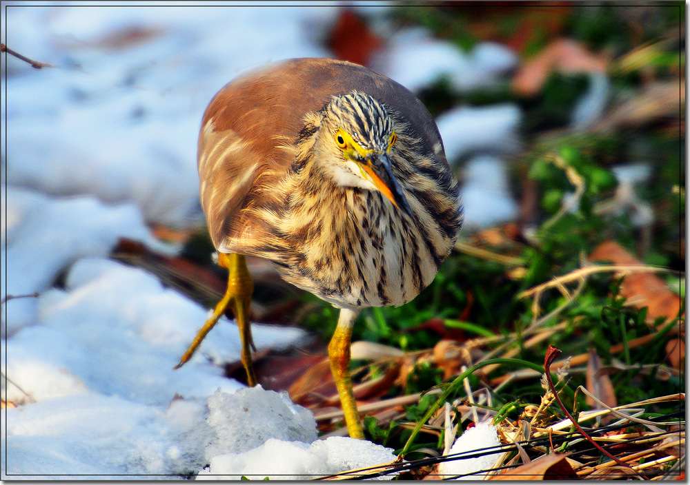 祝影友新年快乐!!!!---明湖黄苇鹣 - 鸟类生态 - 齐鲁社区 齐鲁社区