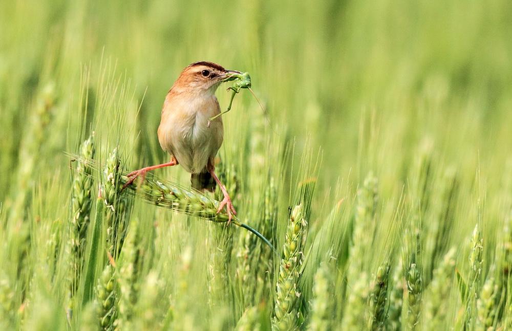 20页:网上农夫摄:棕扇尾莺-1.jpg