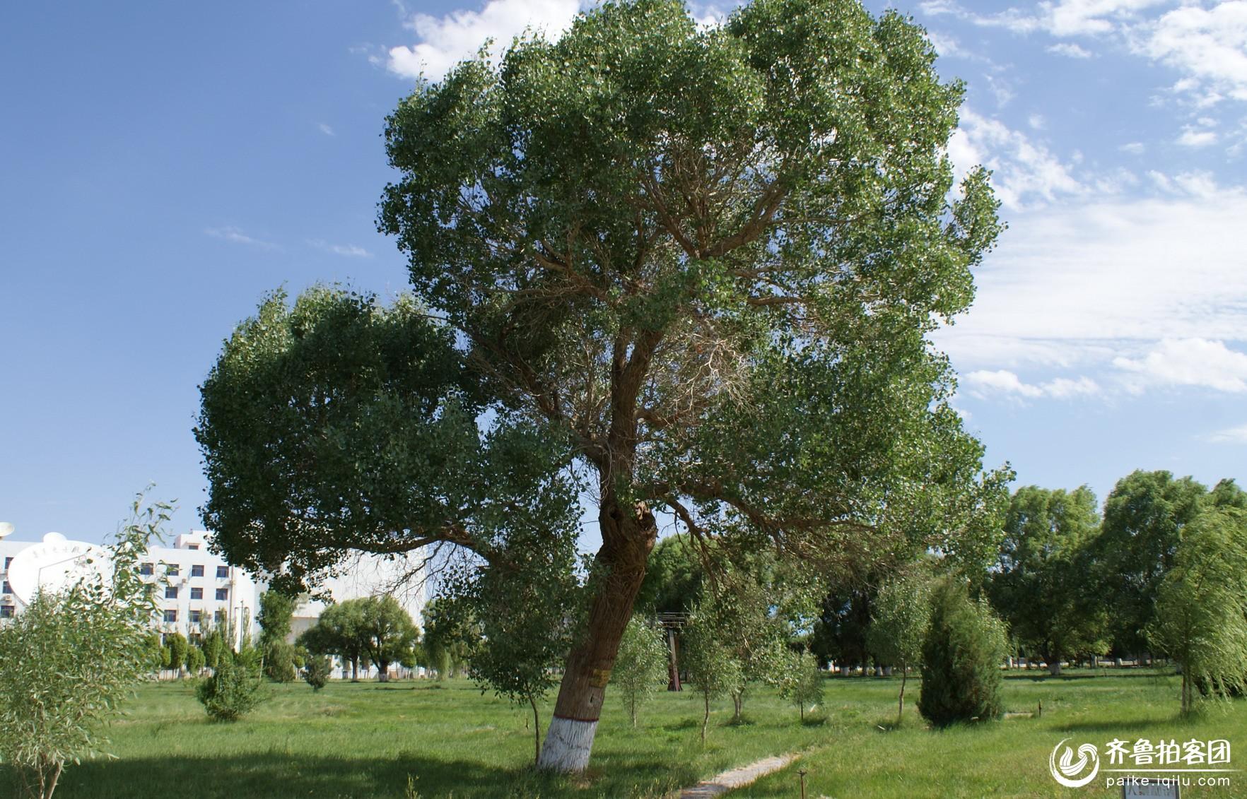 夏之--胡杨树
