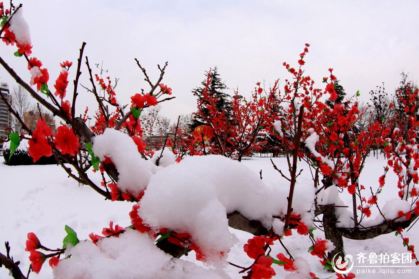 傲雪寻梅【图配诗】 - 温馨妈妈 - 夕阳情暖