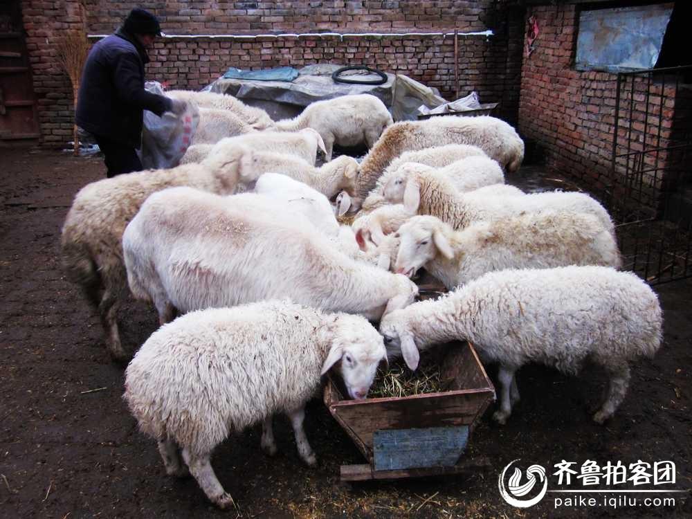 冬雪覆盖圈养羊,饲草吃尽断口粮 - 潍坊拍客 - 齐鲁