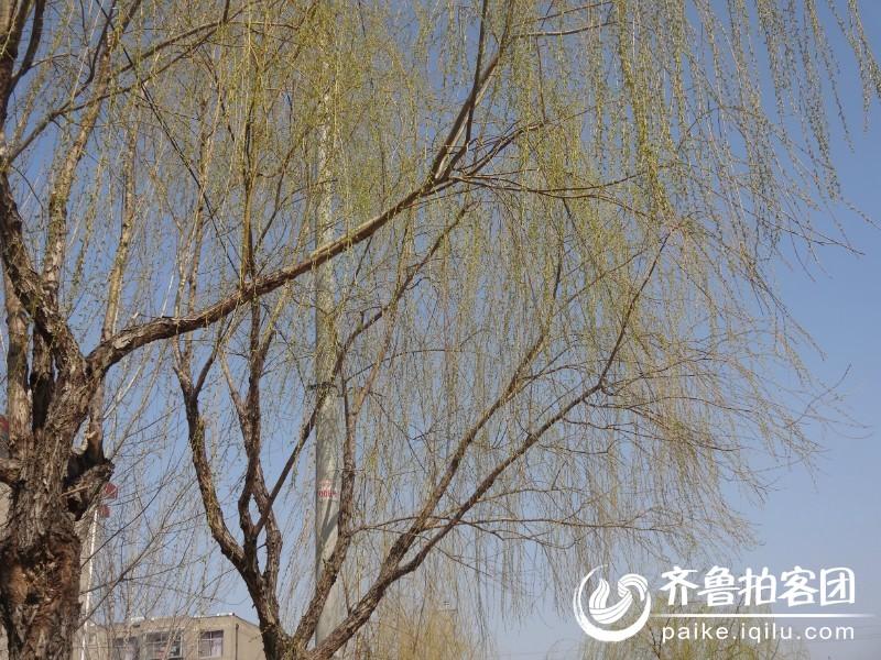 春天来了,柳树发芽了