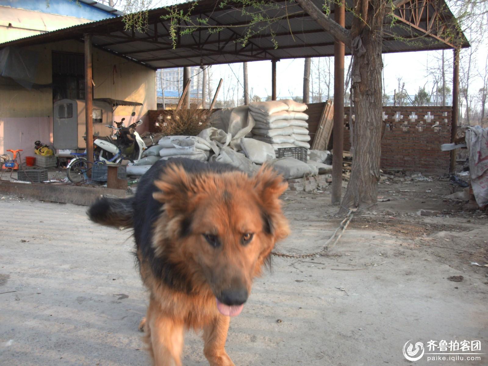 藏獒和狼狗配种图片 狼狗和藏獒杂交 公藏獒配母狼狗视频 牧羊犬藏獒