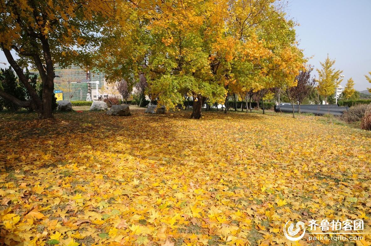 【栖霞】秋天枫树叶