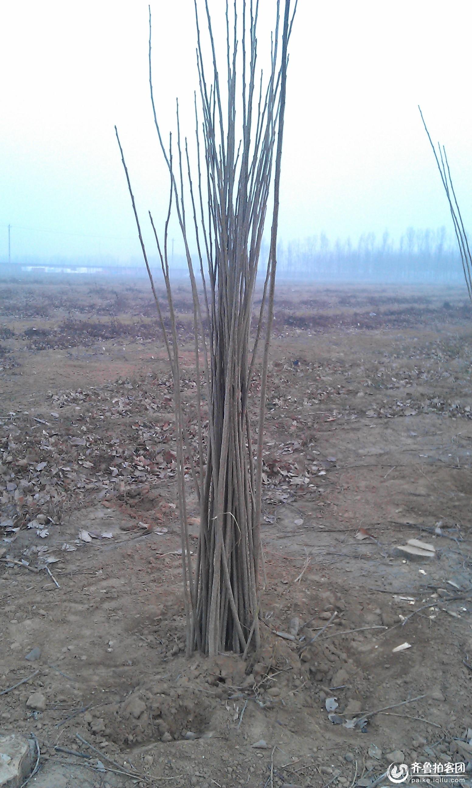 种下一捆树苗,就能长一捆大树吗?