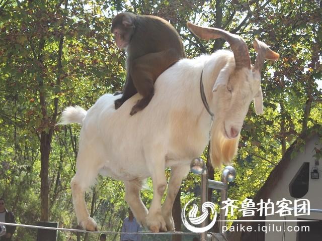 老山羊背着小猴子走钢丝