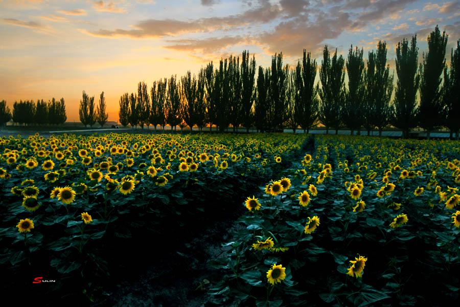 9  夕阳下的向日葵.jpg