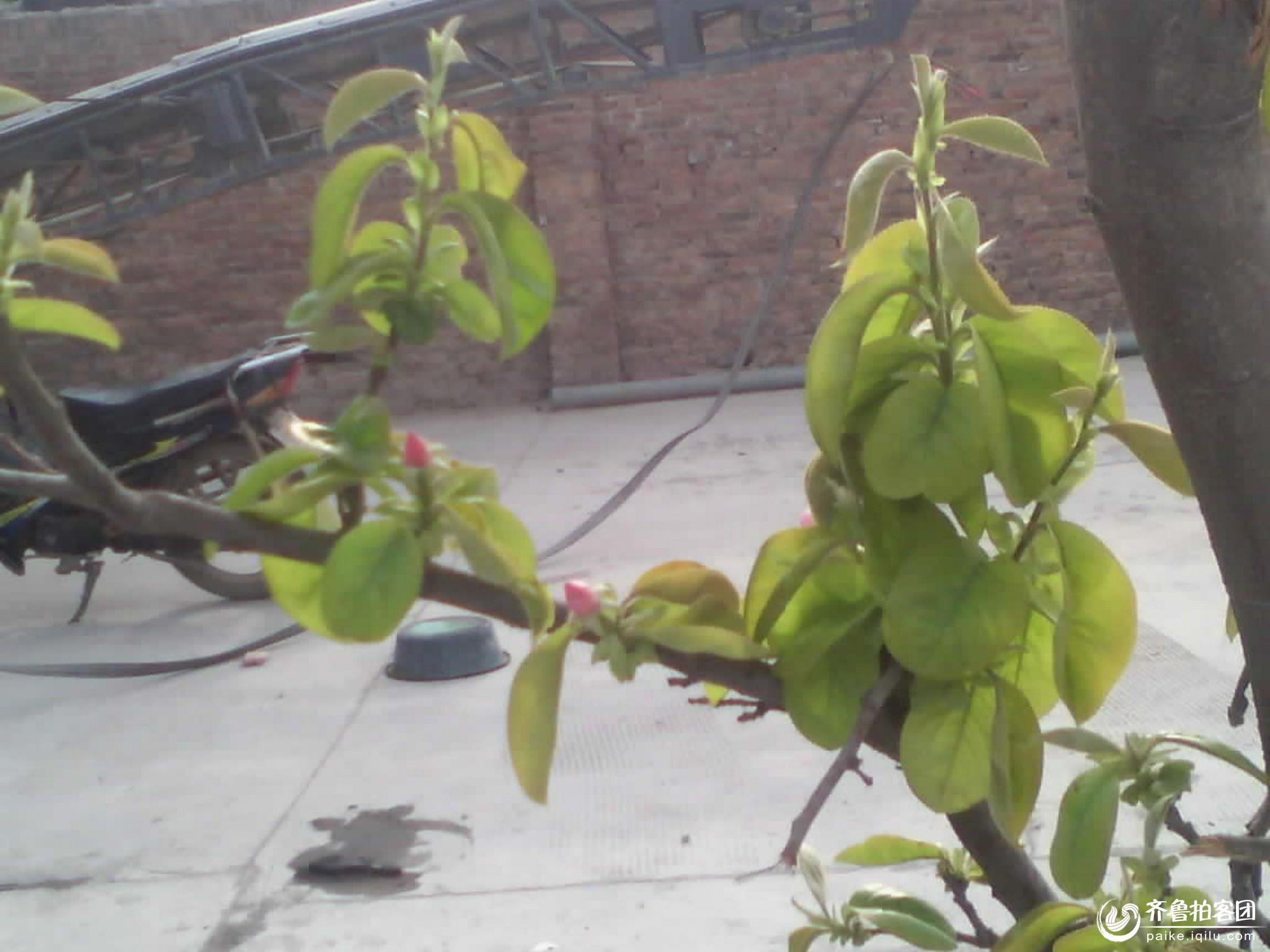 木瓜开花了