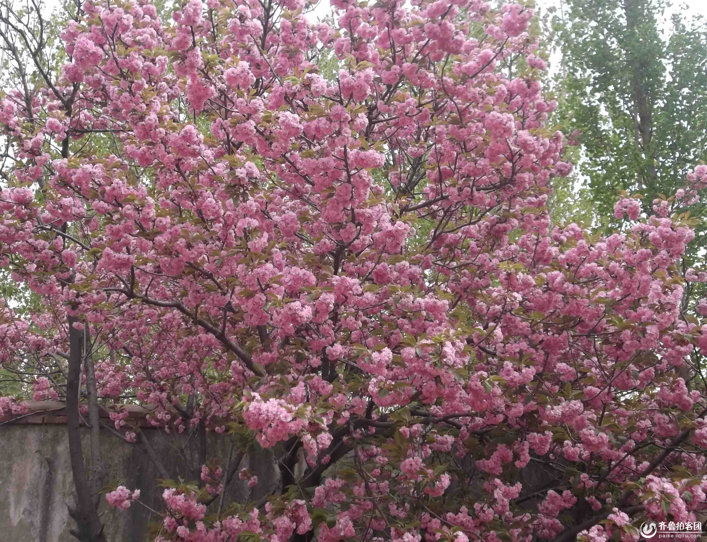 作为春天的象征,在春天樱树上会开出由白色,淡红色转变成深红色的花.