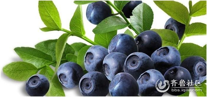兔眼蓝莓树体高大,寿命长,树势较强,栽培品种的树高一般在2-3米,野生
