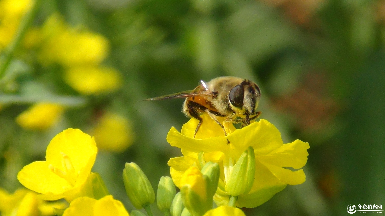 蜜蜂- 临沂拍客 - 齐鲁社区 - 山东最大的城市生活,台