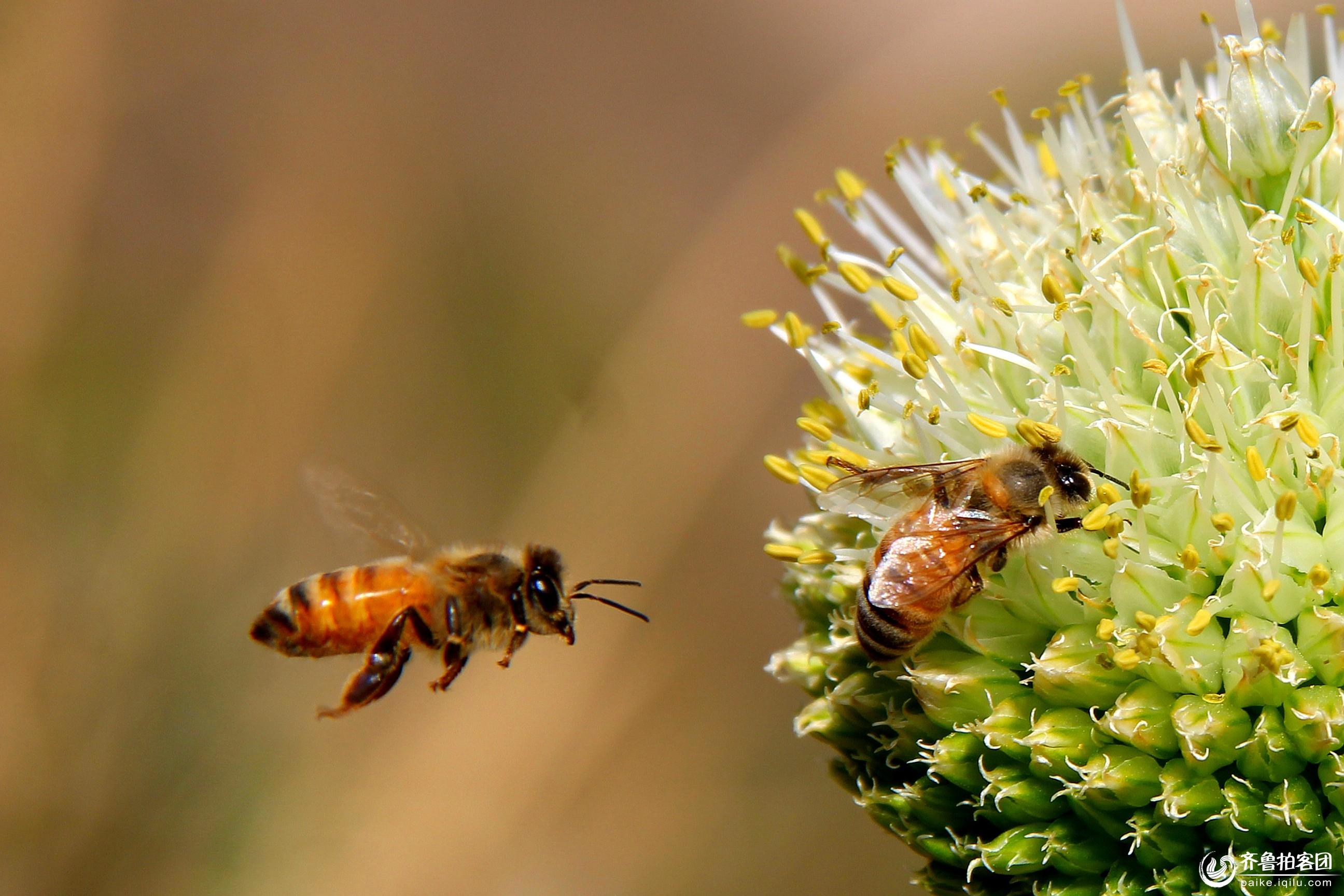 蜜蜂- 莱芜拍客 - 齐鲁社区 - 山东最大的城市生活,台