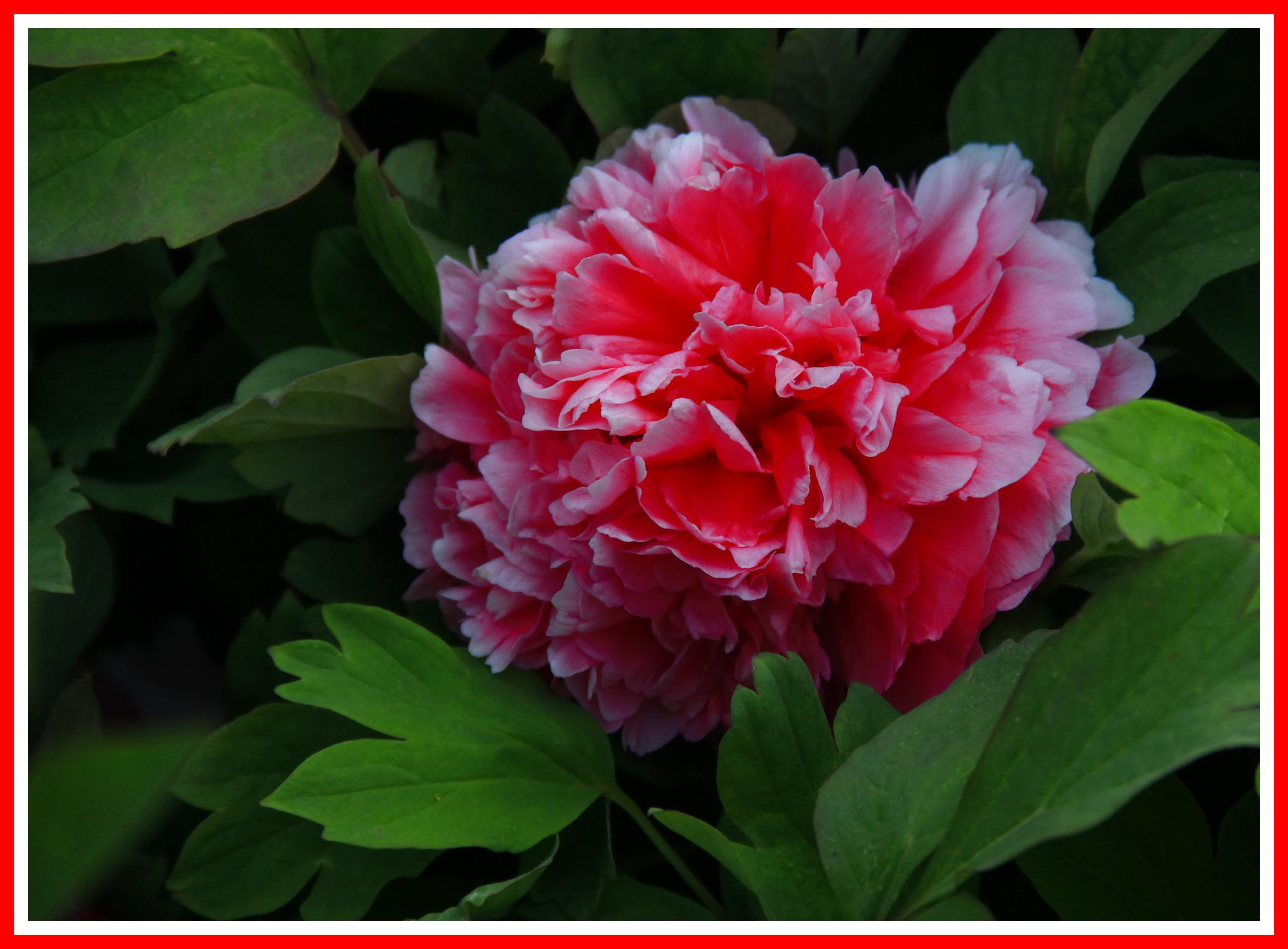 植物园拍牡丹花送上一群美女