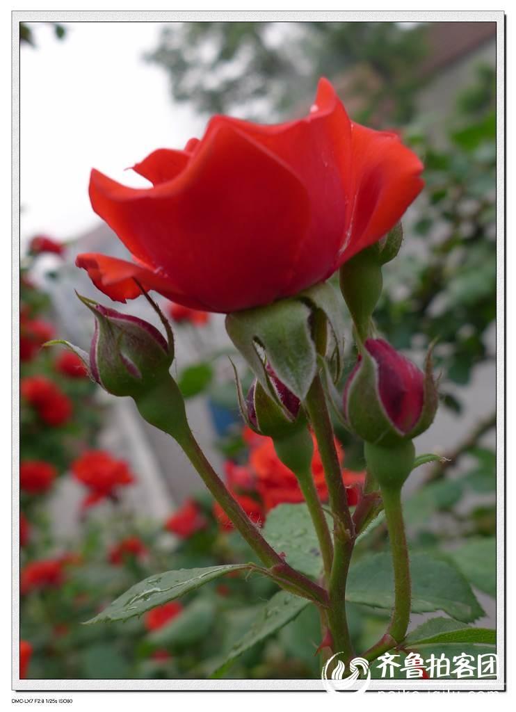 【图】手工海绵纸折玫瑰