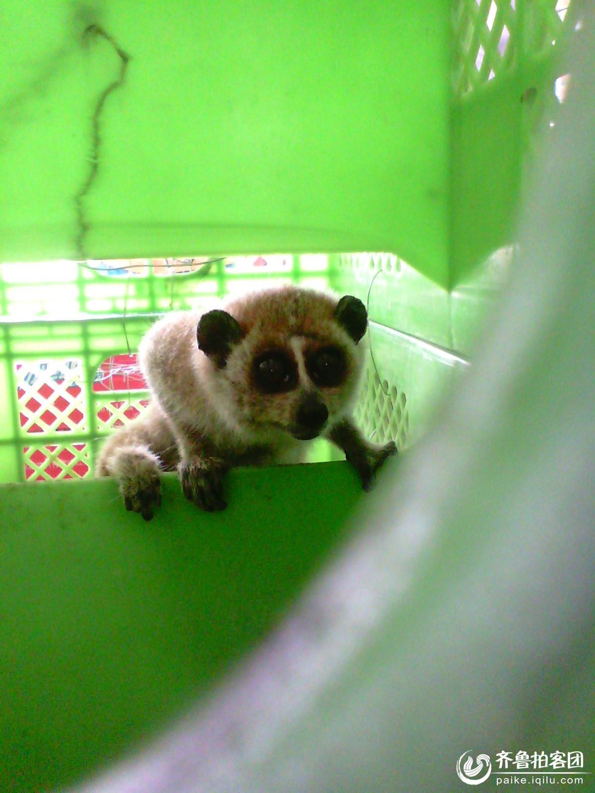 陵县村民魏仁星捉住国家一级保护动物赖猴