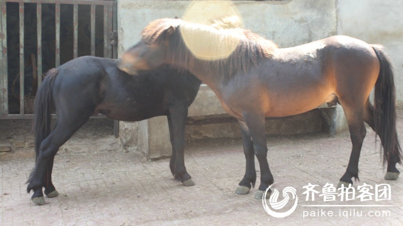铁山动物园里的小马 - 济宁拍客 - 齐鲁社区 - 山东最