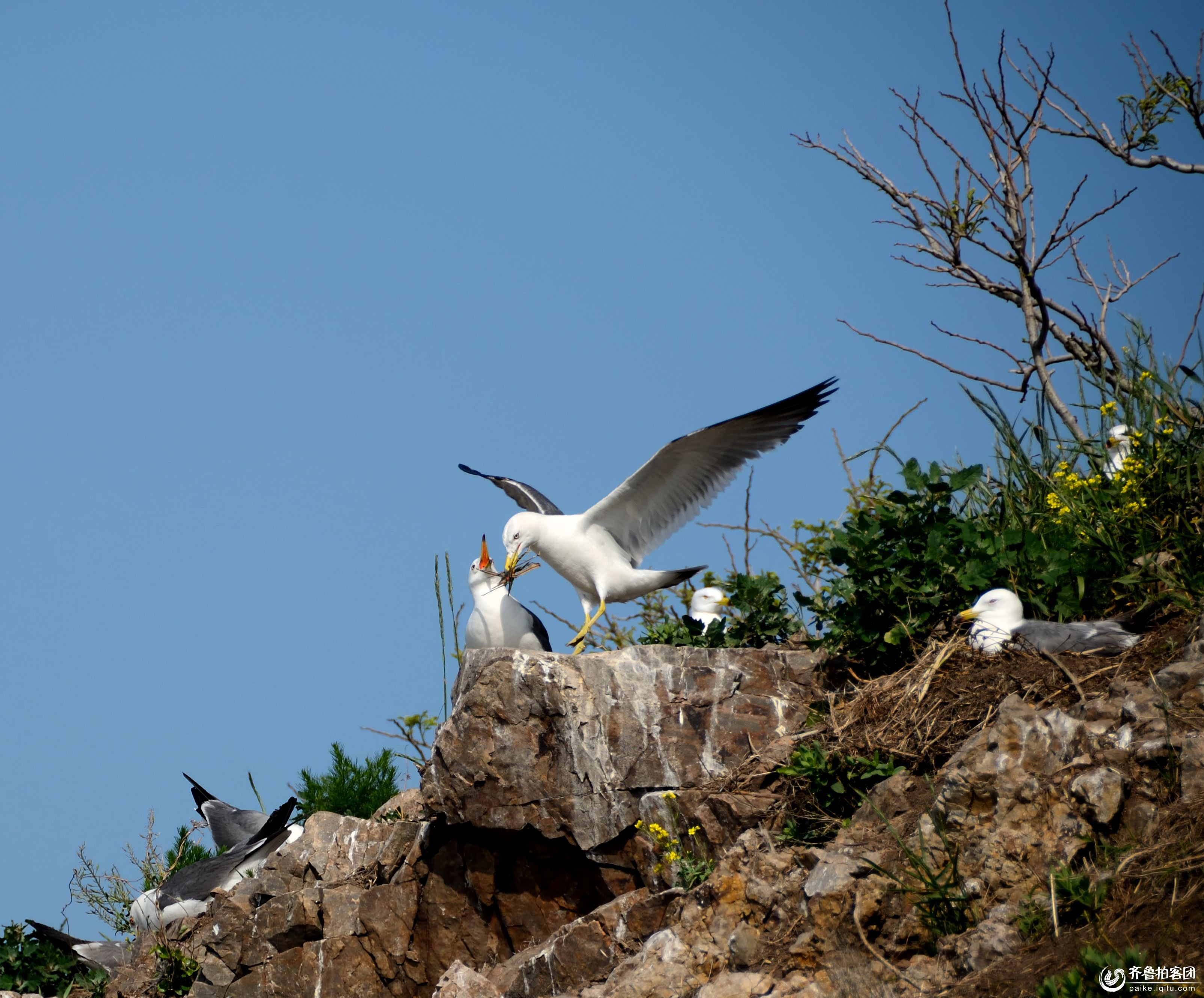 海鸥的王国--海驴岛