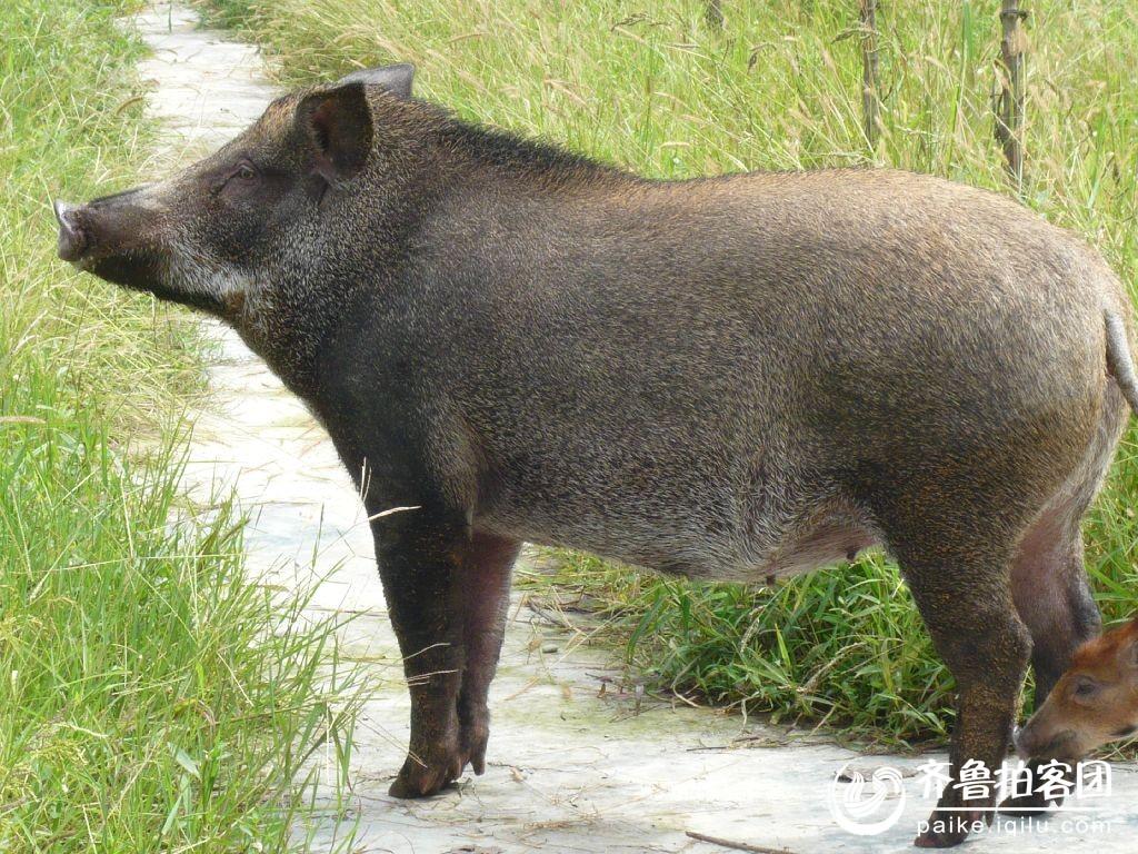 野猪是不是保护动物
