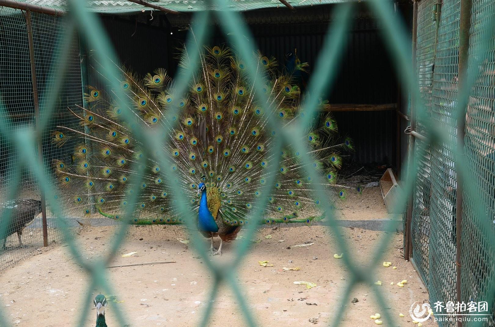 动物园之孔雀开屏