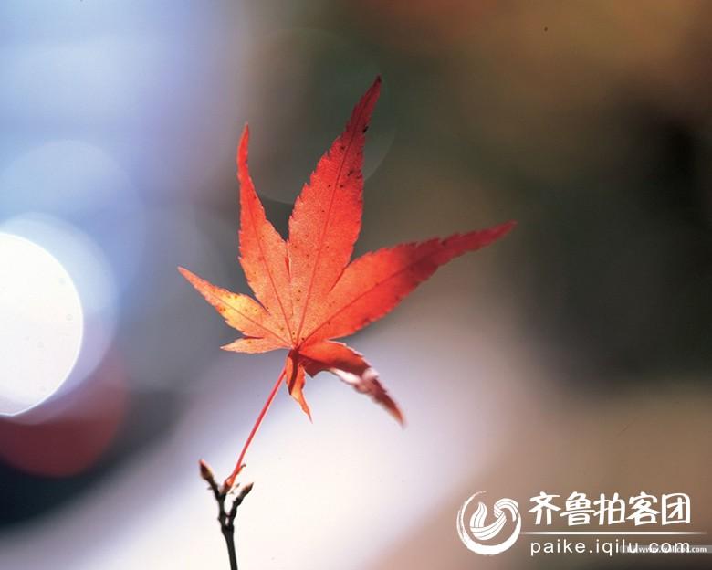 一枚枫叶寄相思 菏泽拍客 齐鲁