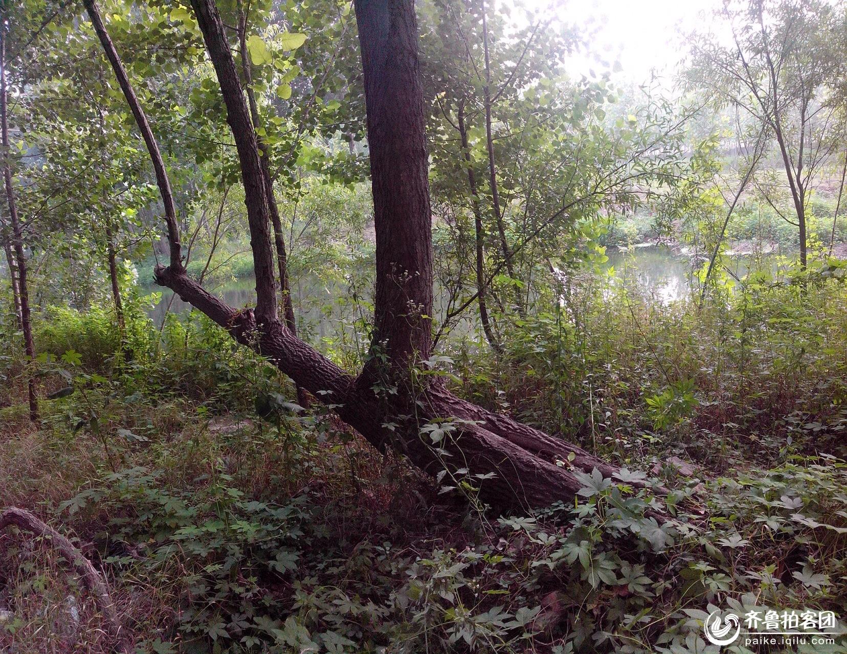 河边怪树 - 济宁拍客 - 齐鲁社区 - 山东最大的城市