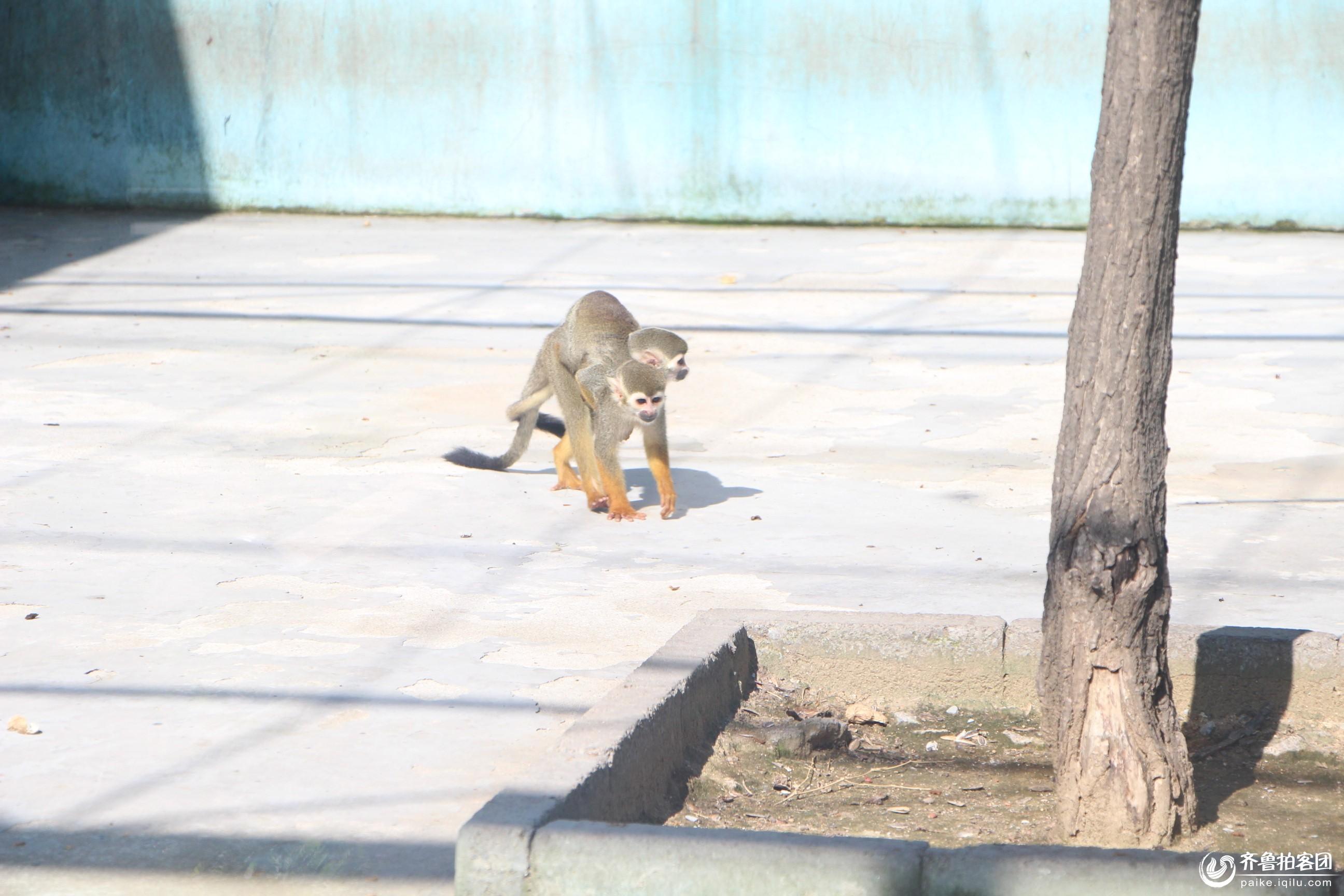 可爱的小猴子 - 临沂拍客