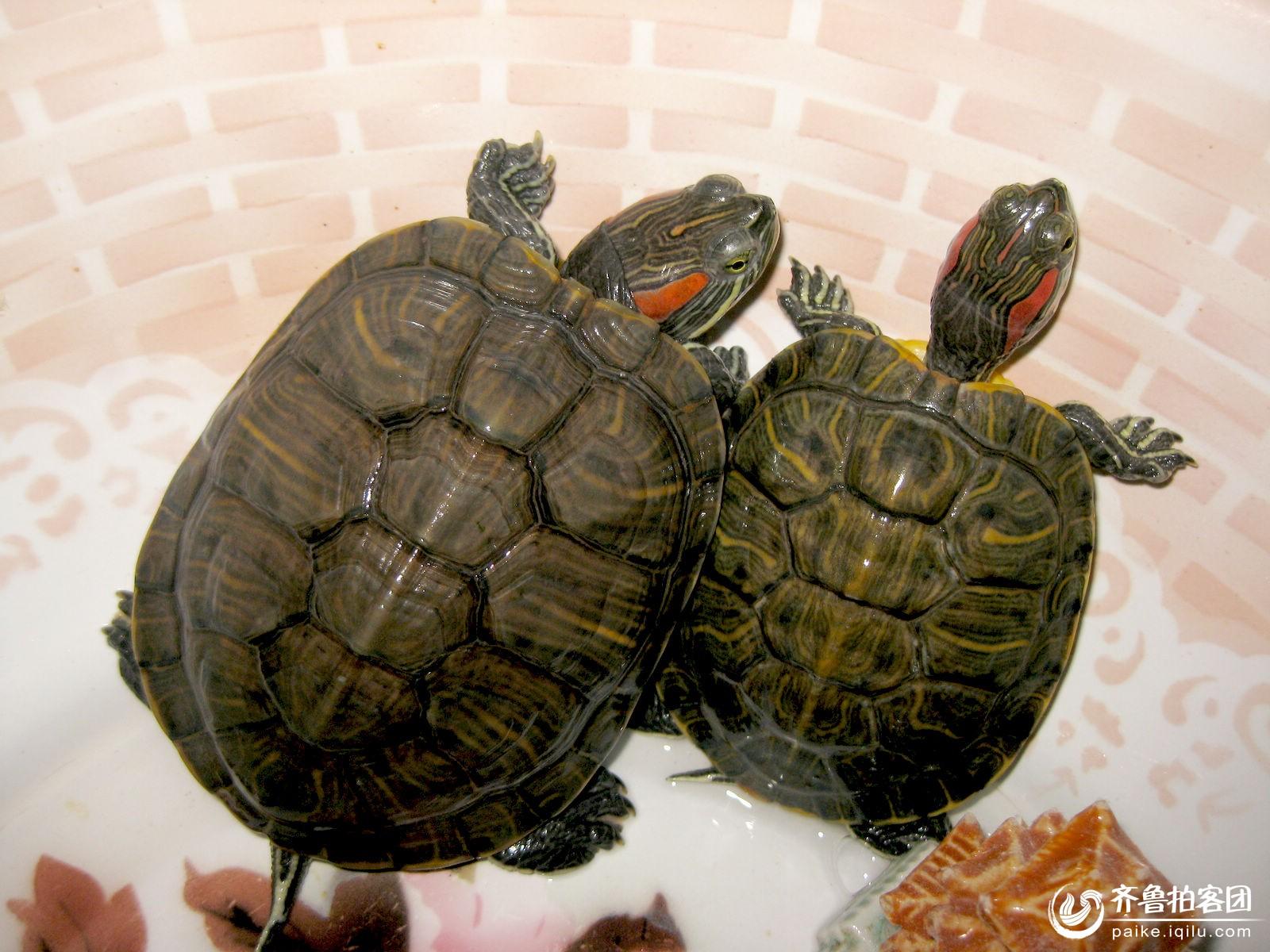 家养乌龟选什么品种最好