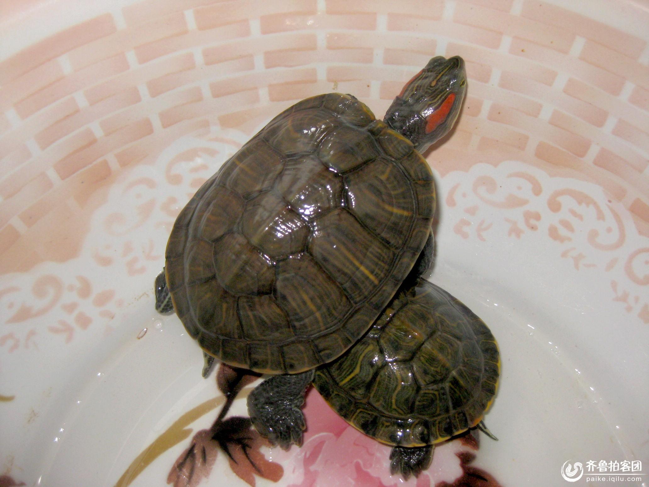 家养乌龟要怎么冬眠
