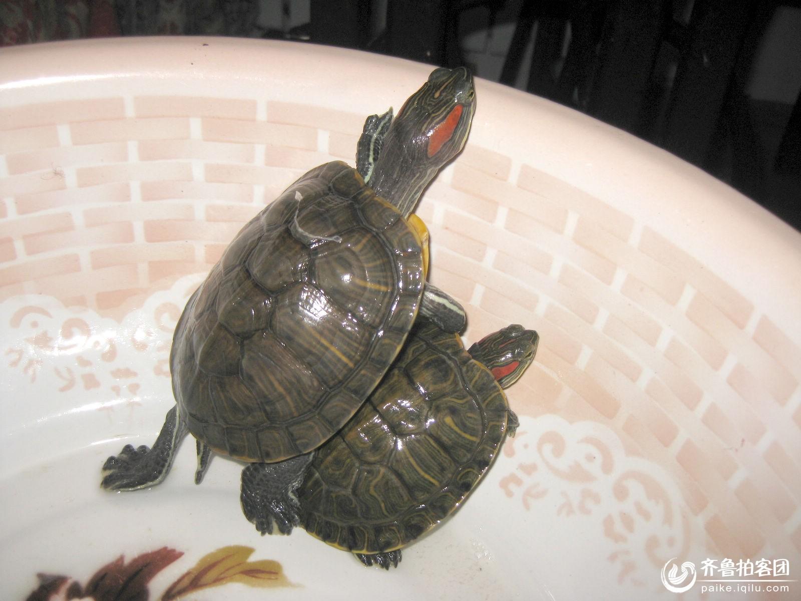 怎么区分家养乌龟和野生乌龟