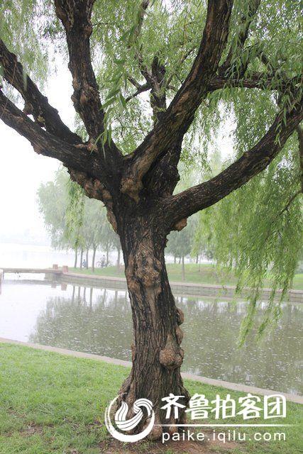 柳树生病了还是太老了?